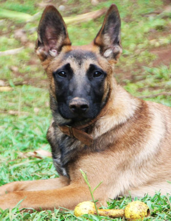 K9 Home Protection, Watchdogs  Family Home protection guard